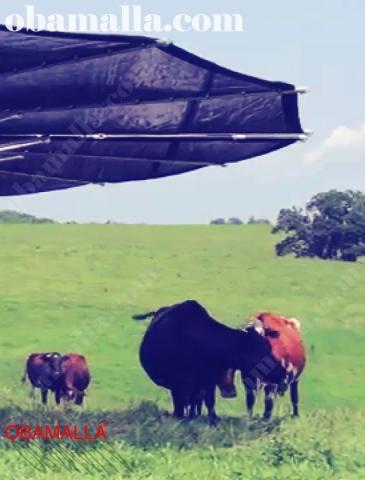 Media sombra obamalla protegiendo animales del ganado.