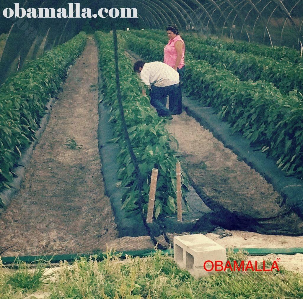 Cultivo protegido con la red de sombreo.